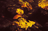 Submerged Leaves, Sipsey Wilderness, Alabama