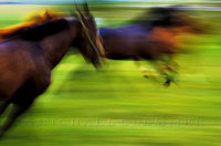 Horses Released from Stall, Vermont